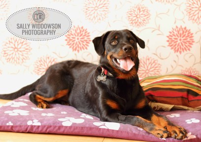 Roo Proctor doberman dog full length lying on bed tongue outSally Widdowson Photography