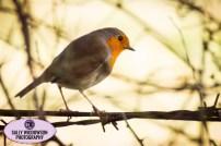 robin redbreast on branch winter Daneshill Lakes Nottinghamshire Sally Widdowson Photography