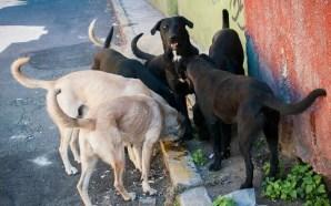 Crean croqueta anticonceptiva contra proliferación de perros