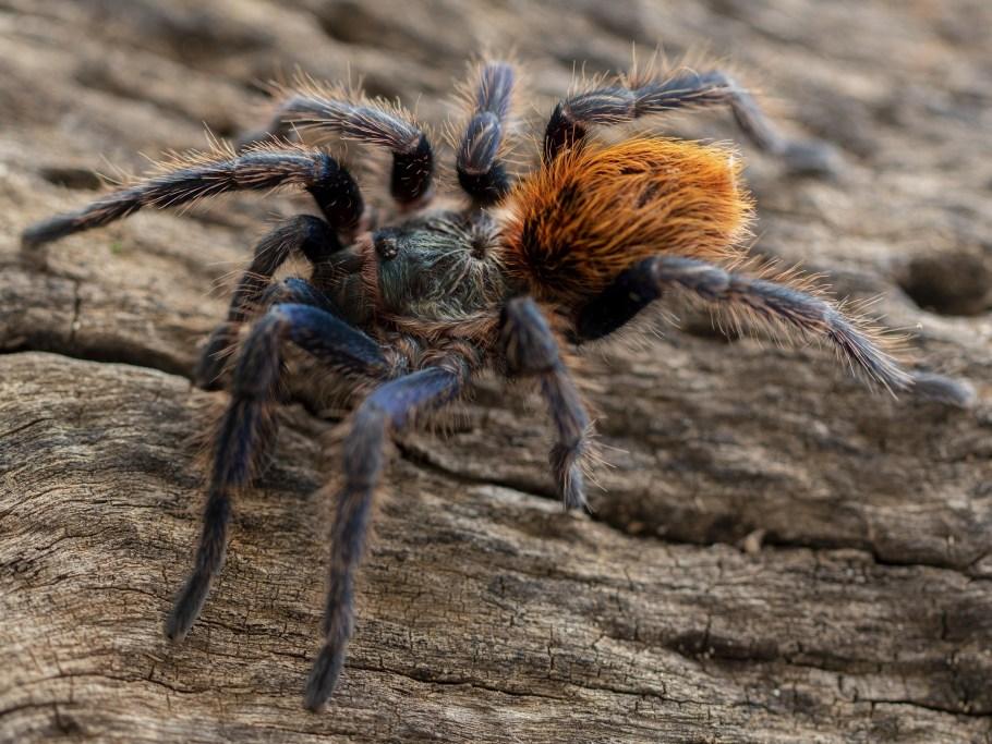 how to feed tarantula