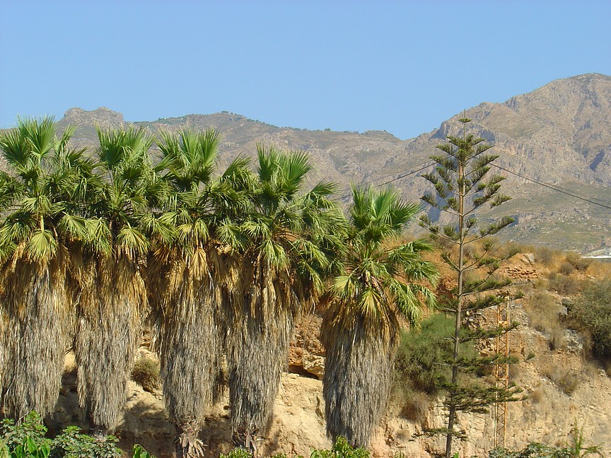 Bearded palms, bearded only because the owners have not bothered to clear away the dead leaves.
