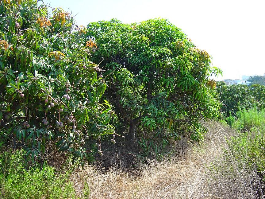 Roadside Mango tree..ooh the temptation