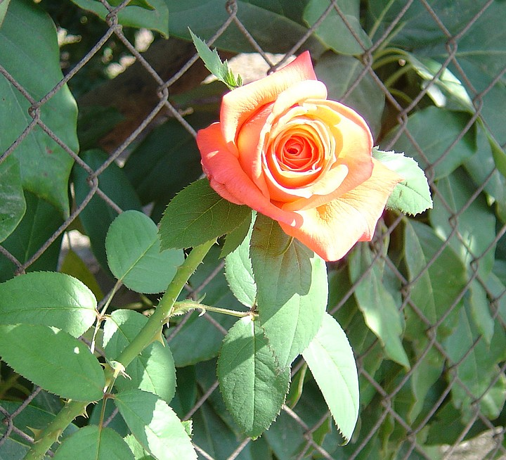 A lovely rose growing amongst the Avacado and Cherimoya trees