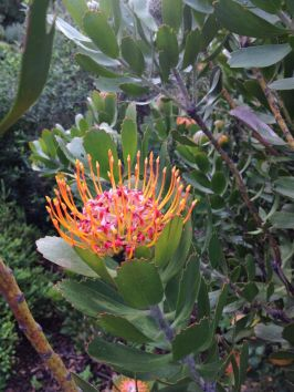 leucospermum (pincushion) of the protea family