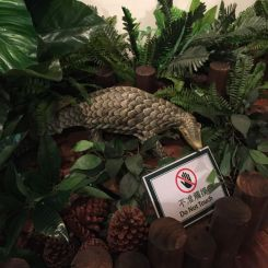 Pangolin! I recently read about pangolins in a National Geographic magazine. I didn't realize you can still find them in some protected areas of HK.
