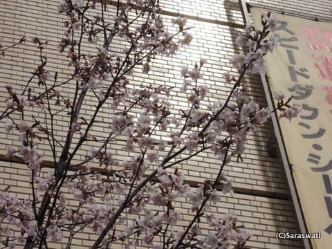 小樽警察署の桜