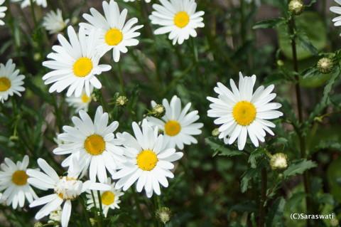 白いキク科の花の群生