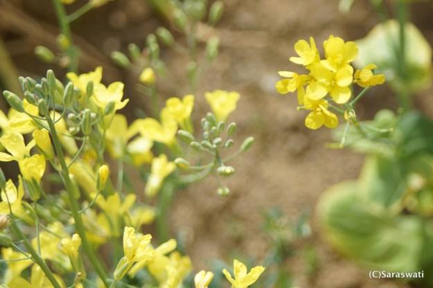 キャベツと白菜の花