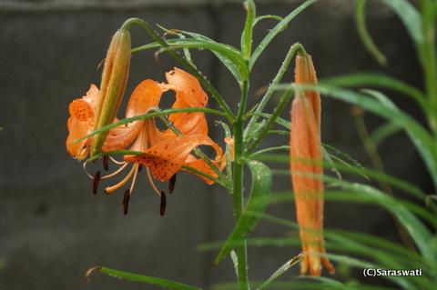 百合根の花