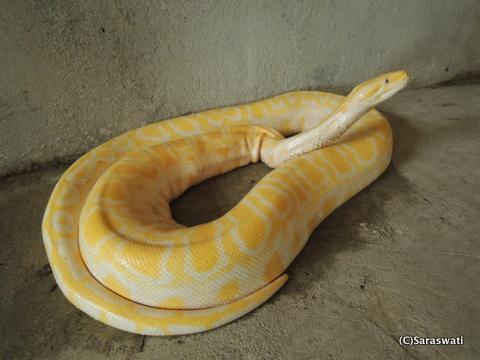 黄色(金色)の蛇
