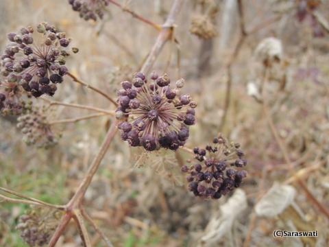 ウドの種子
