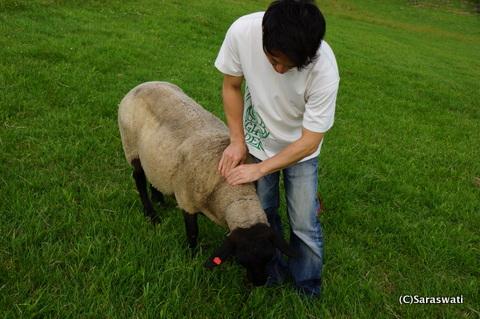 サフォーク羊