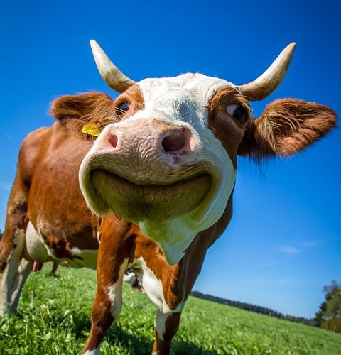 vache rigolo