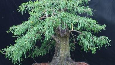 Photo of Le robaron árboles Bonsái de 36 años de antigüedad
