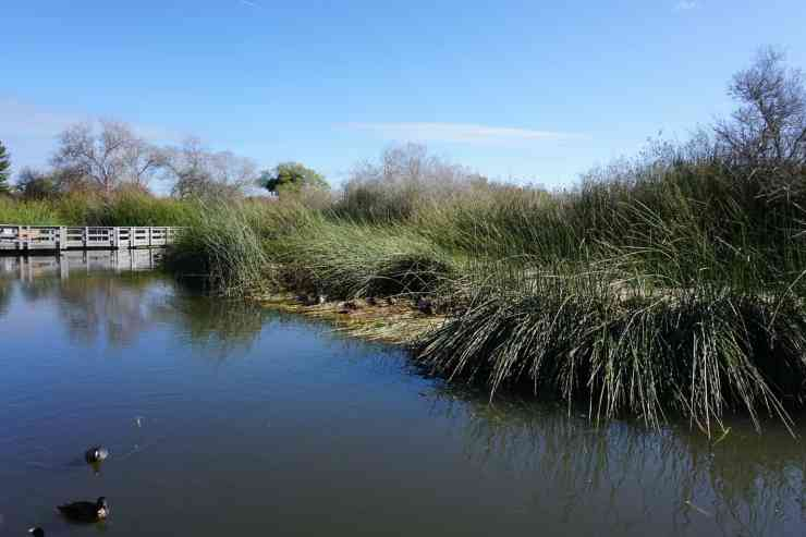 Marsh with reeds, ducks and a white bridge in Neary Lagoon. CA