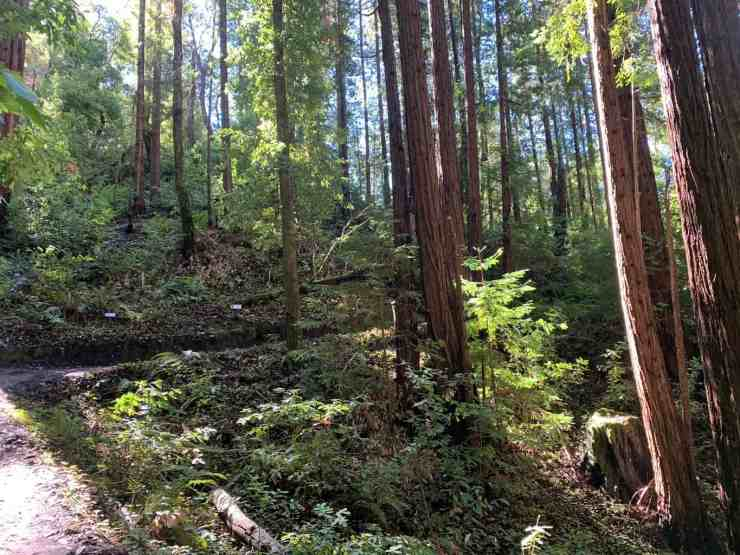 switchback trail leading up the mountain in the redwood trees in santa cruz