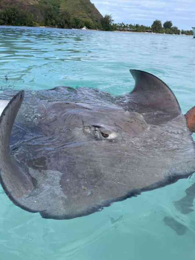 sting ray lagoon tour in moorea is a fu n thing to do in moorea