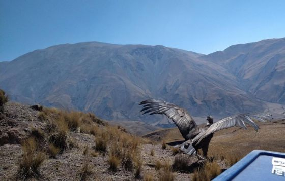 Sacha, el cóndor andino, volvió a surcar el cielo salteño