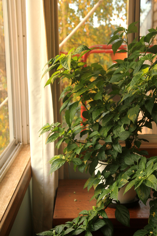 So You Want To Grow Chili Peppers Indoors Saltbush Avenue