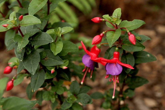 Fuchsia | My rainbow of summer flowers | Saltbush Avenue