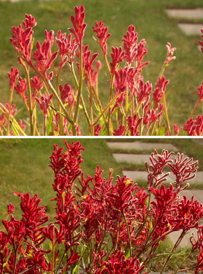 Kangaroo paw - Autumn/winter flowers, 2016 | Saltbush Avenue