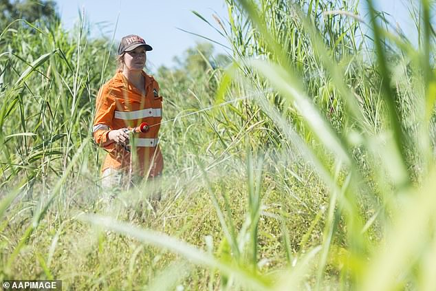 The Northern Territory is ramping up its battle against an invasive African grass ahead of the upcoming Top End bushfire season