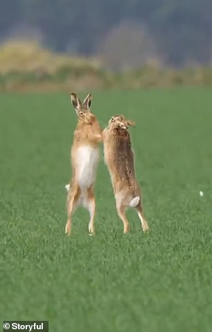 Boxing normally breaks out between hares of the opposite sex during mating season, between March and April, when males are being too persistent