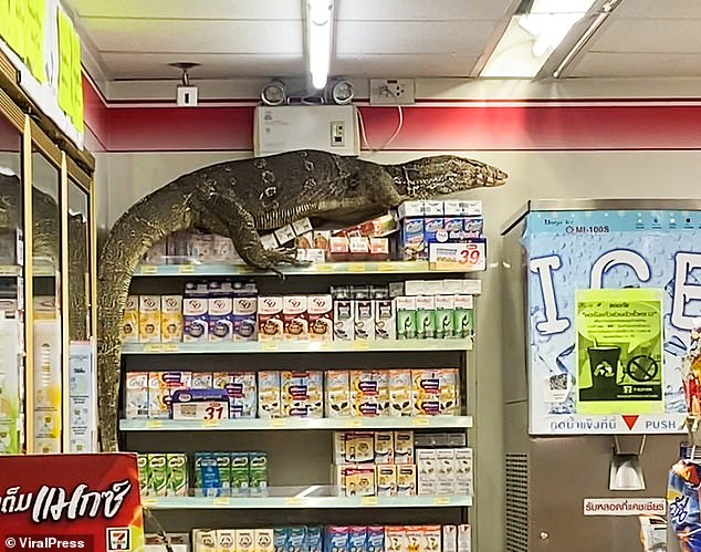 A worried shop assistant later called the police who arrived with reptile handlers to snare the unexpected visitor