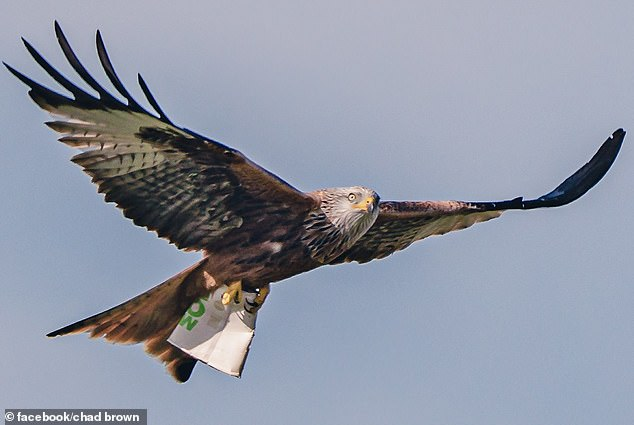 Photographer Chad Brown captured the bird of prey diving down and reappearing with the cup last week in the village of Stoke-by-Nayland, Suffolk