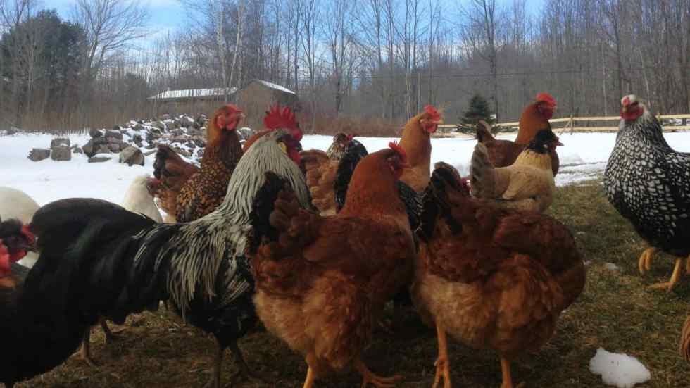 Winter Chickens 10