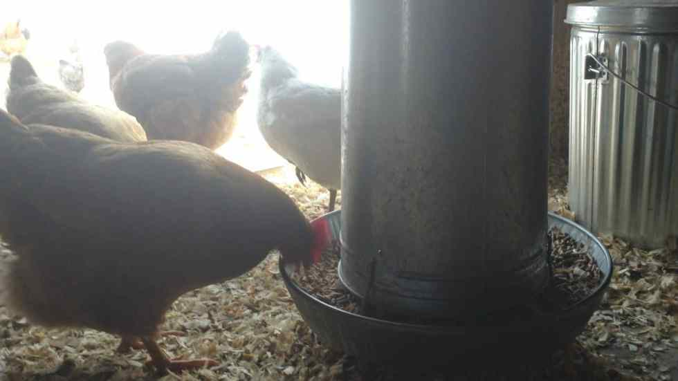 Winter Chickens 5