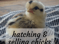 hatching and selling chicks