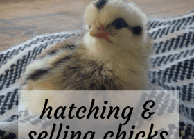 How to Make Extra Income Hatching Chicks