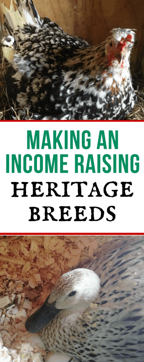 really good suggestions on how to start making an income raising heritage breeds