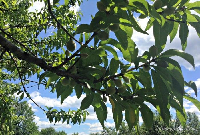 how to thin a peach tree