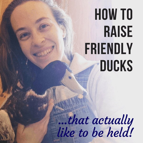 How to Raise Friendly Ducks