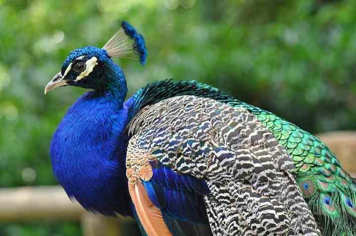 peafowl as a homestead bird