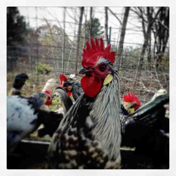 raising roosters