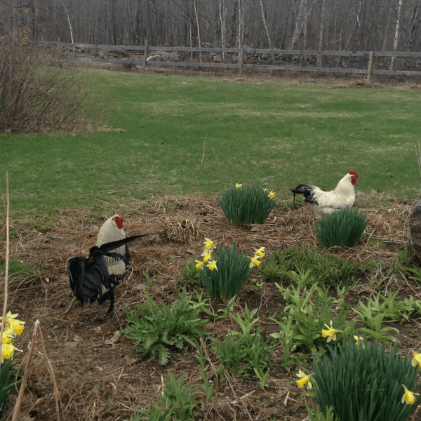 roosters with flowers