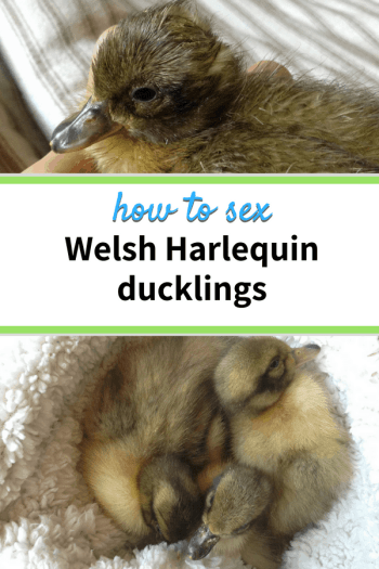 how to sex welsh harlequin ducklings