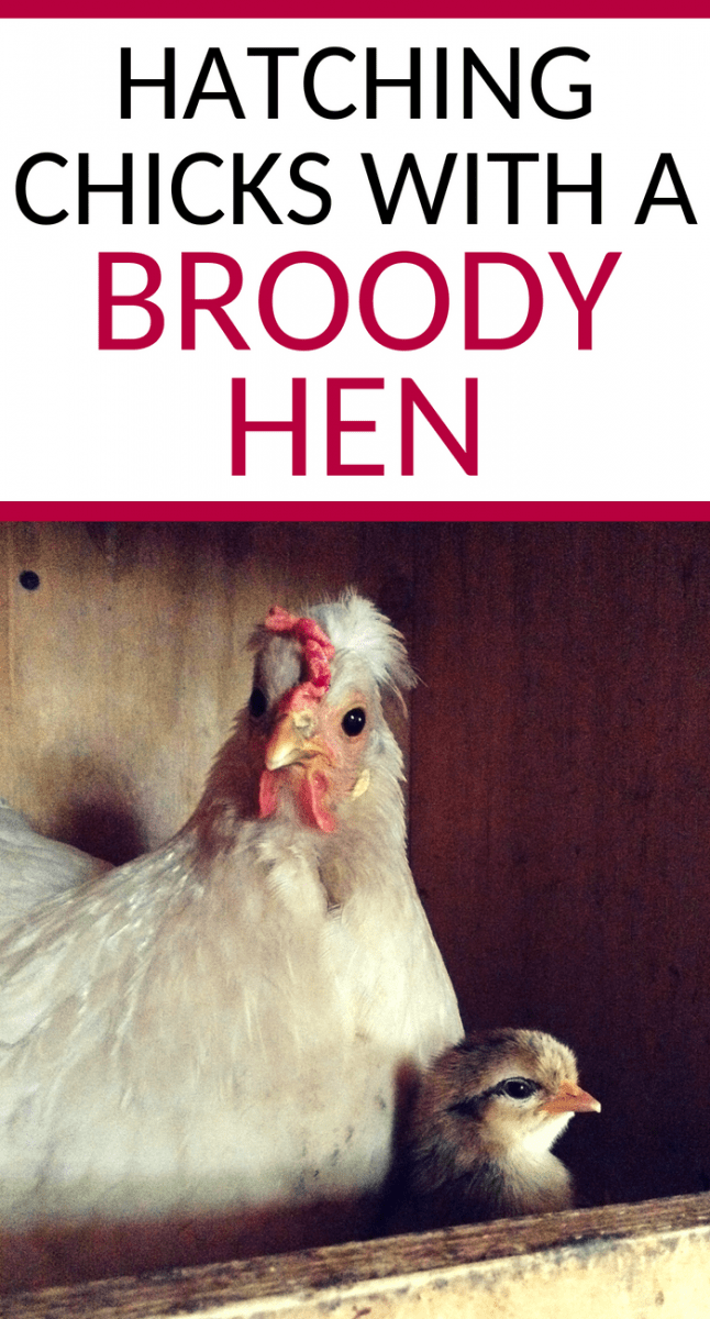 hatching chicks with a broody hen