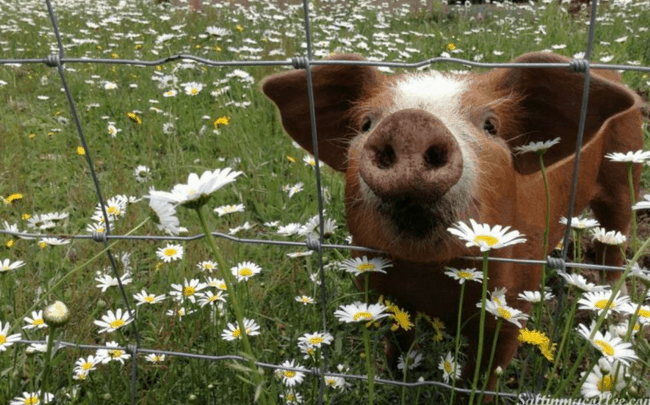 piglet in daisies