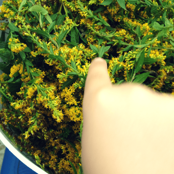 goldenrod blossoms for dyeing