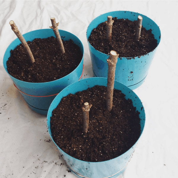 growing elderberry bushes from cuttings