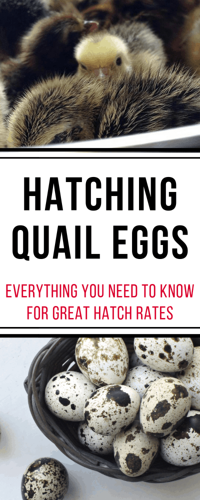 hatching quail eggs