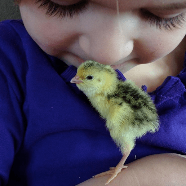 quail chick snuggling with little girl
