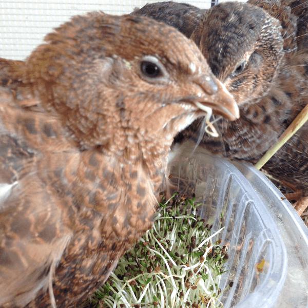 quail enjoying fresh alfalfa sprouts