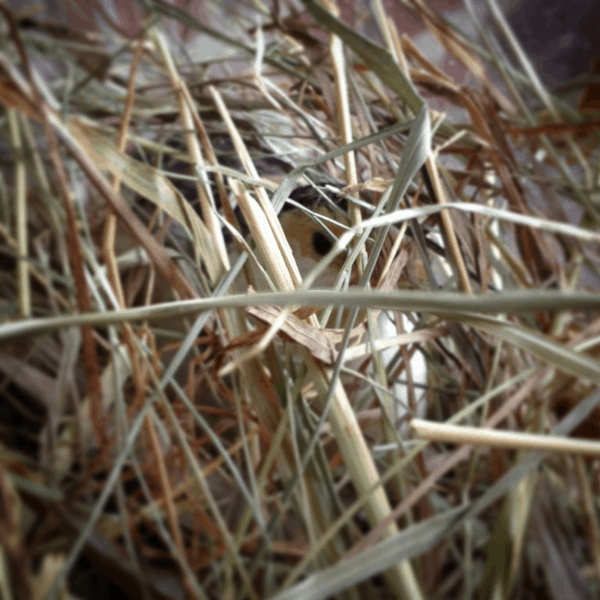 quail hiding in a pile of hay