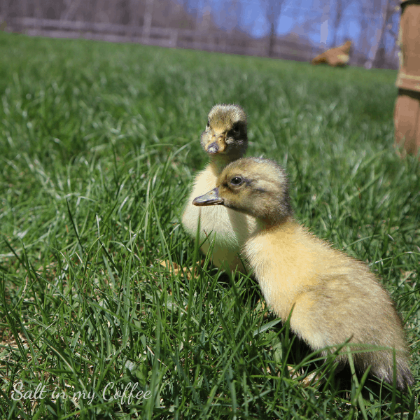ducklings walking on grass for the first time