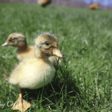 ducklings feeling grass for the first time